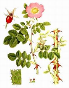 Rosehip at oilsncures.com
